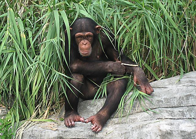 在动物园里的黑猩猩们过得非常幸福和快乐