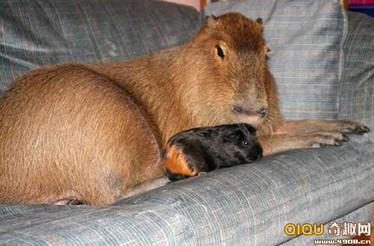 加普林并非野生动物,尽管是人工培养的豚鼠
