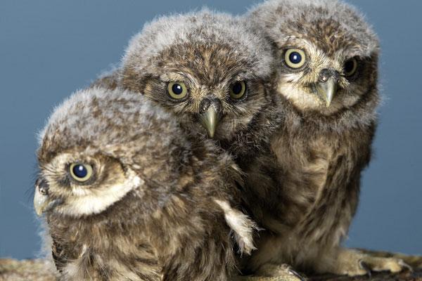 动物世界鸮,就是人们俗称的动物世界猫头鹰