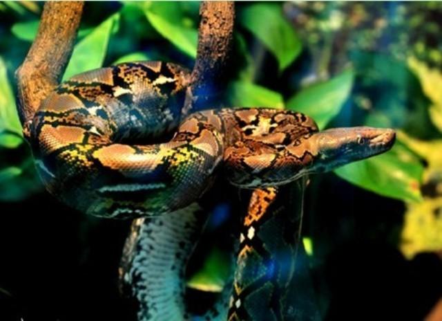 蟒蛇 网纹蟒 广州动物园 以下/以下是广州动物园里的蟒蛇。