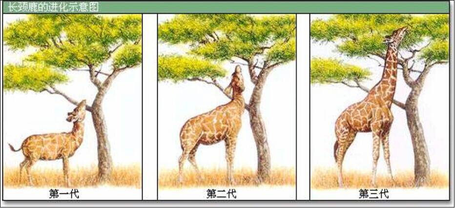 长颈鹿的祖先却是脖子和腿子都不长