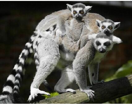由于人类的入侵马达加斯加岛的空间已经急剧减少90%